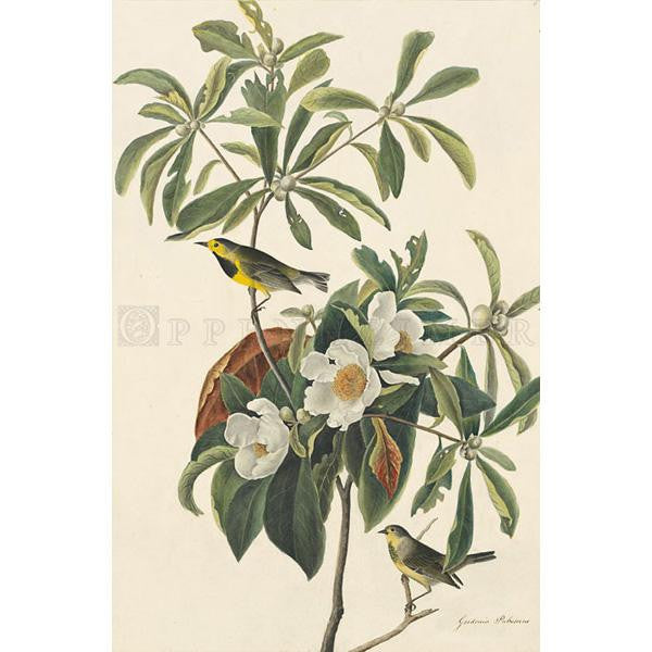 Bachman's Warbler plate 185 Oppenheimer Print - New-York Historical Society Museum Store