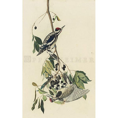 Yellow-bellied Woodpecker Oppenheimer Print