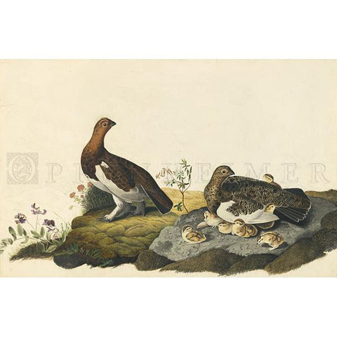 Willow Grous or Large Ptarmigan Oppenheimer Print