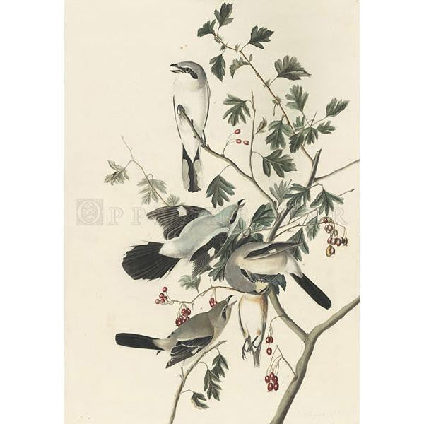 Great American Shrike or Butcher Bird Oppenheimer Print