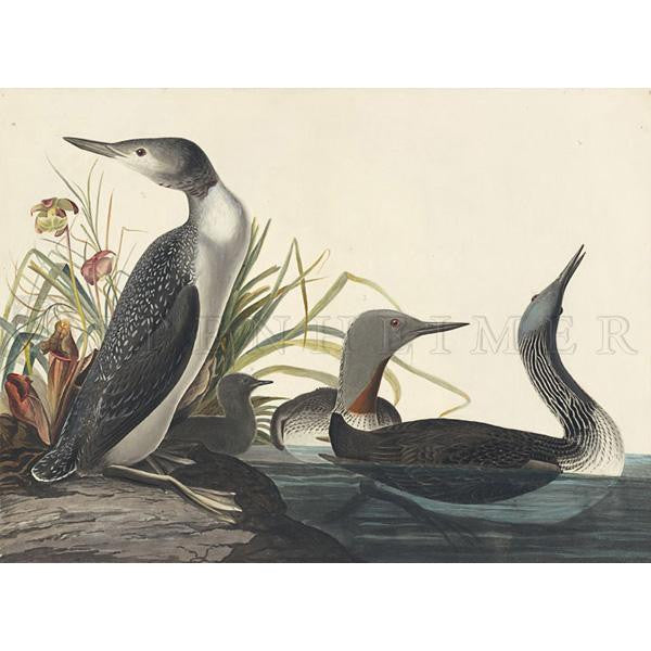 Red-throated Loon Oppenheimer Print