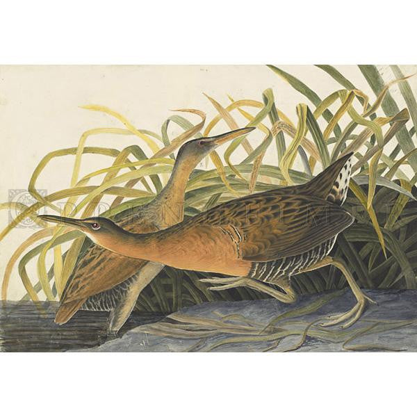 Fresh-water Marsh Hen Oppenheimer Print