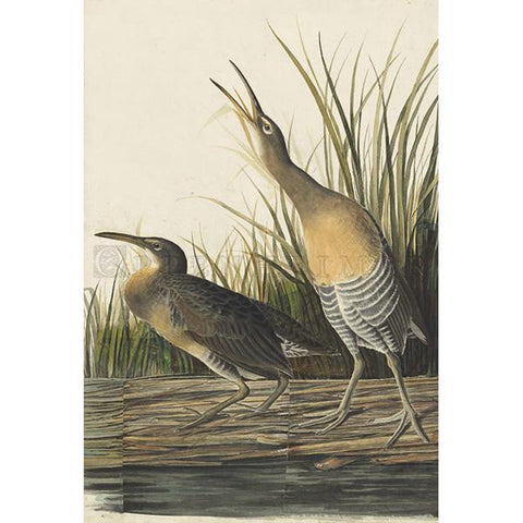 Salt Water Marsh Hen Oppenheimer Print