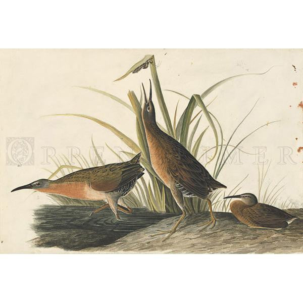 Virginia Rail Oppenheimer Print