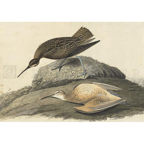 Esquimaux Curlew Oppenheimer Print