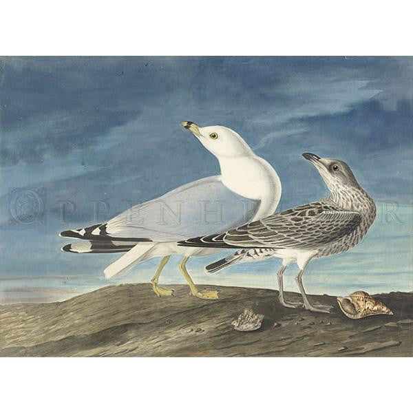 Common Gull Oppenheimer Print