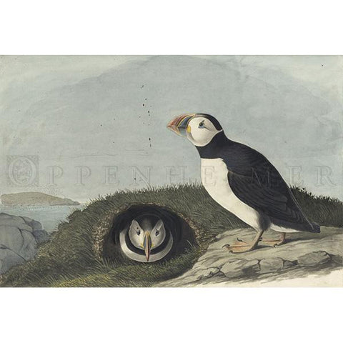 Atlantic Puffin Oppenheimer Print