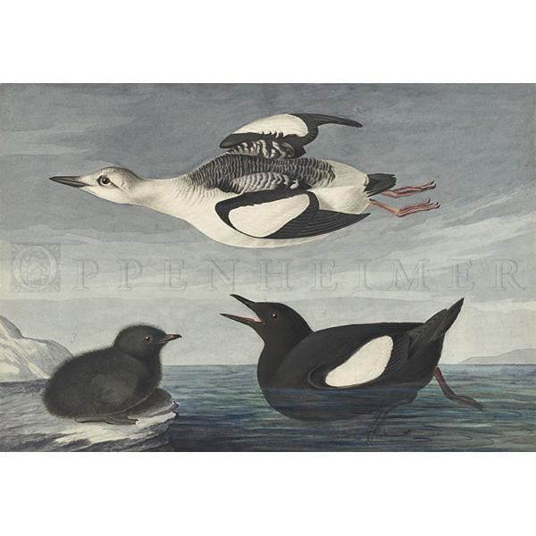 Black Guillemot Oppenheimer Print - New-York Historical Society Museum Store