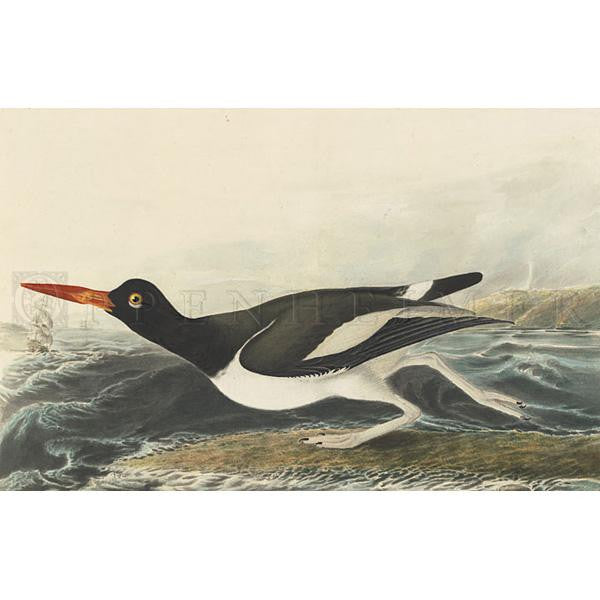 Pied oyster-catcher Oppenheimer Print