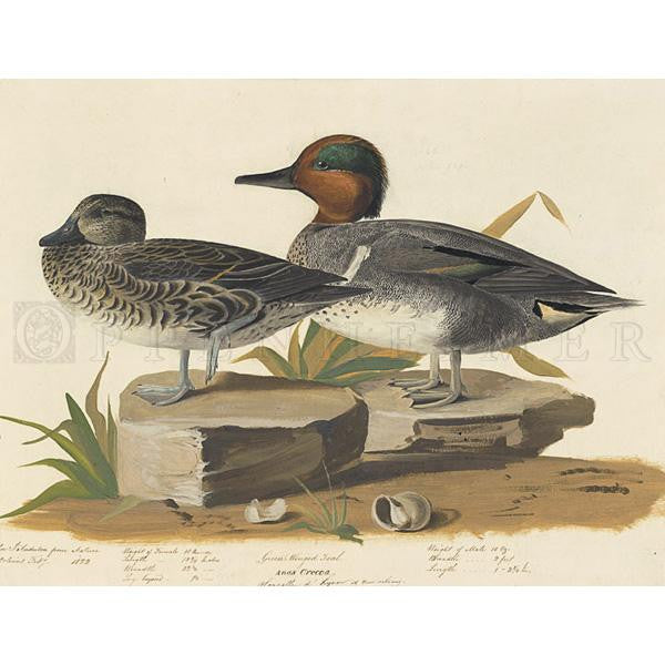 American Green winged Teal Oppenheimer Print - New-York Historical Society Museum Store