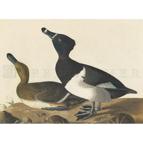 Tufted Duck Oppenheimer Print