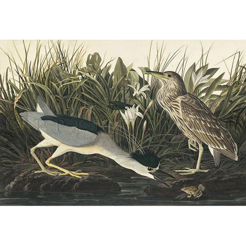 Night Heron or Qua Bird Oppenheimer Print
