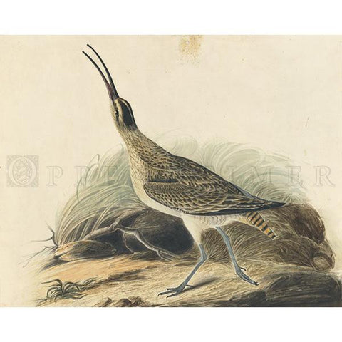 Great Esquimaux Curlew Oppenheimer Print