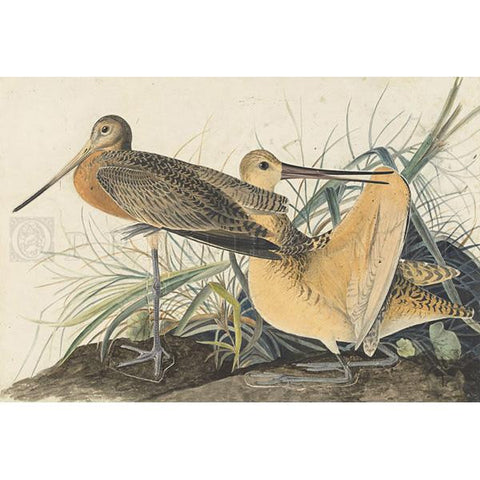 Great Marbled Godwit Oppenheimer Print