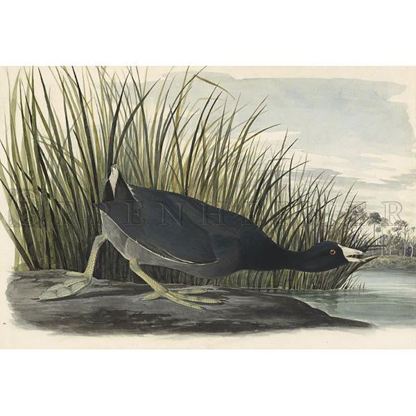 American Coot Oppenheimer Print - New-York Historical Society Museum Store