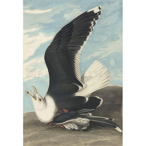 Black Backed Gull Oppenheimer Print