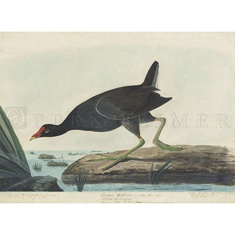 Common Gallinule Oppenheimer Print