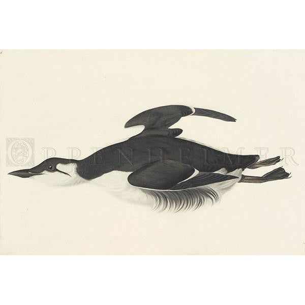 Large-billed Guillemot Oppenheimer Print