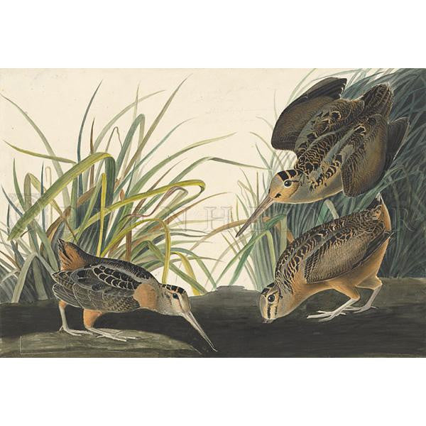 American Woodcock Oppenheimer Print - New-York Historical Society Museum Store