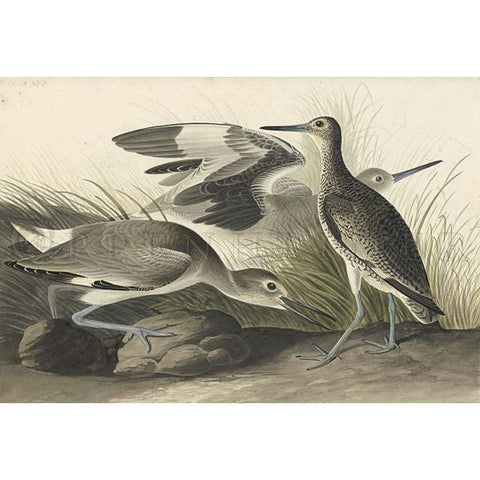 Semipalmated Snipe or Willet Oppenheimer Print