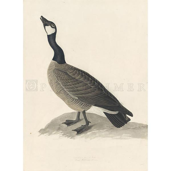 Hutchins's Barnacle Goose Oppenheimer Print