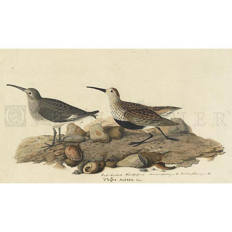 Red backed Sandpiper Oppenheimer Print
