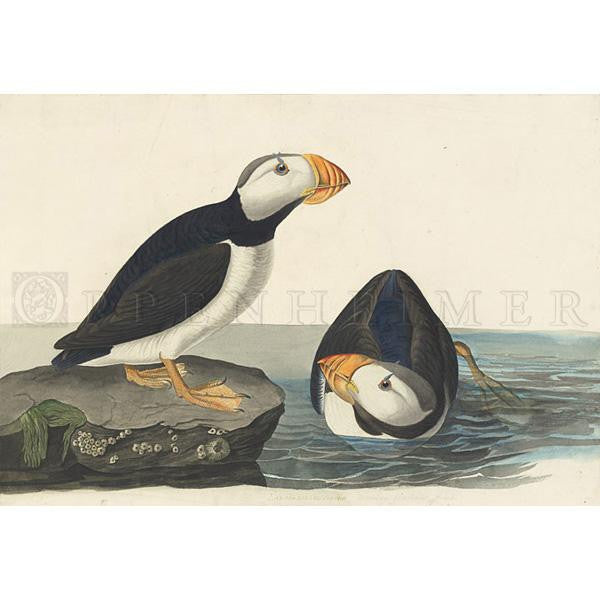 Large billed Puffin Oppenheimer Print