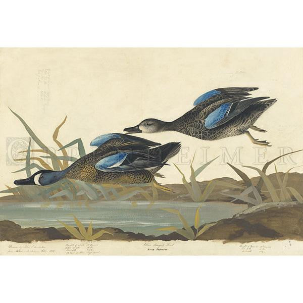Blue-winged Teal Oppenheimer Print - New-York Historical Society Museum Store