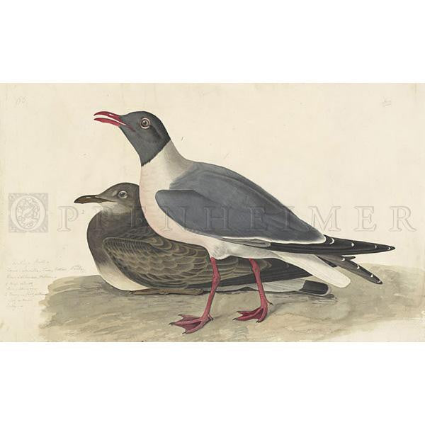Black-headed Gull Oppenheimer Print - New-York Historical Society Museum Store