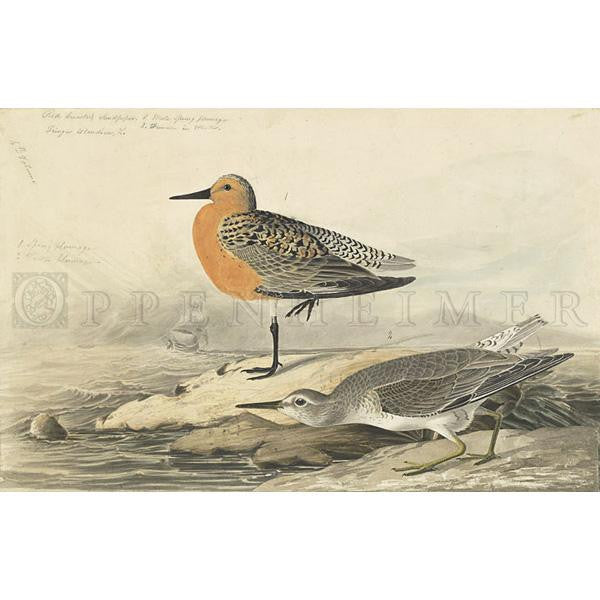 Red-breasted Sandpiper Oppenheimer Print