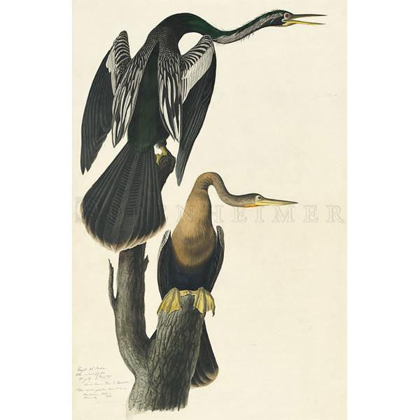 Black-bellied Darter (plate 316) Oppenheimer Print