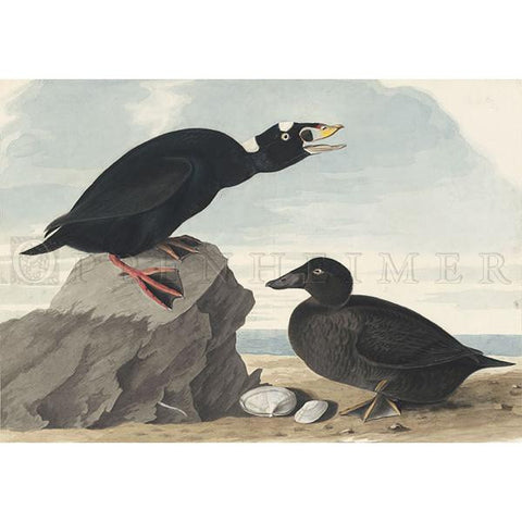 Black or Surf Duck Oppenheimer Print