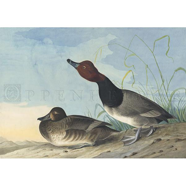 Red-headed Duck Oppenheimer Print