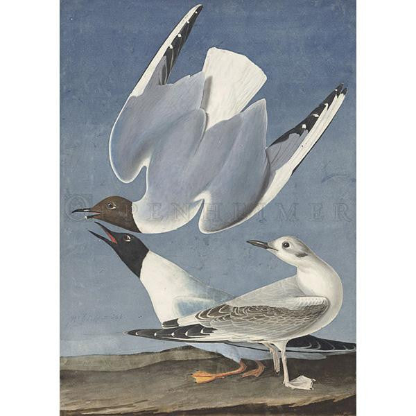 Bonapartian Gull Oppenheimer Print - New-York Historical Society Museum Store