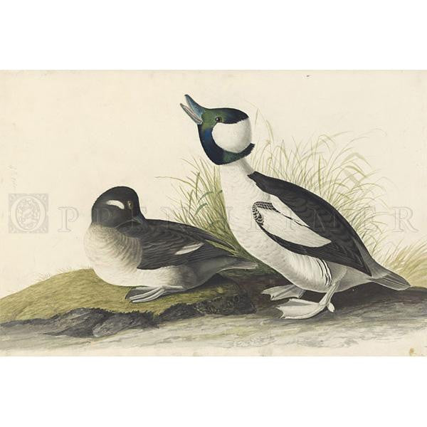 Buffel-headed Duck Oppenheimer Print - New-York Historical Society Museum Store