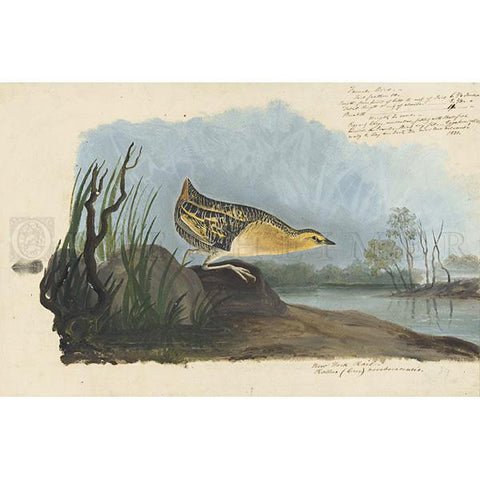 Yellow-breasted Rail Oppenheimer Print