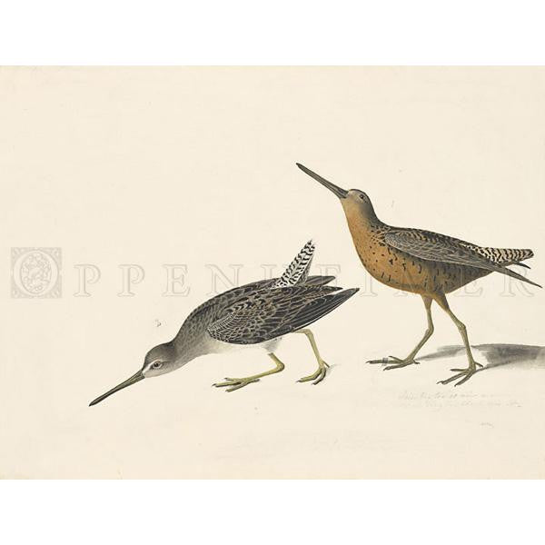Red-breasted Snipe Oppenheimer Print