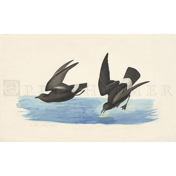 Least Stormy Petrel Oppenheimer Print