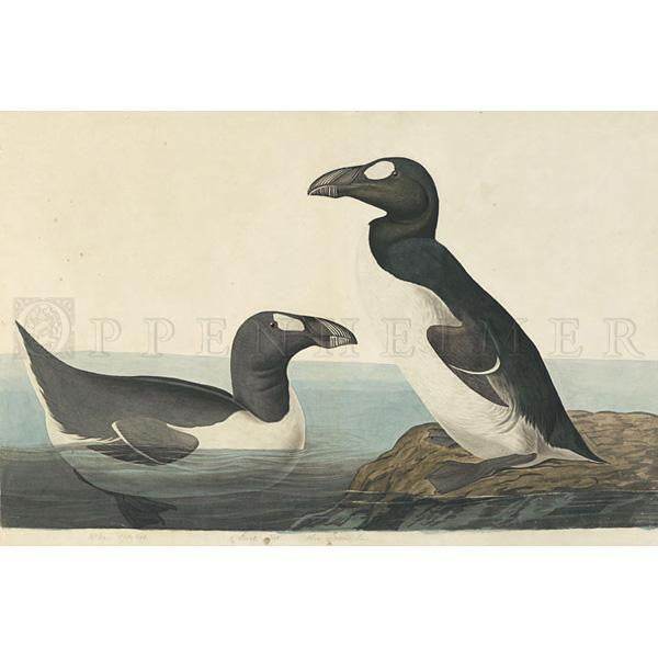 Great Auk Oppenheimer Print