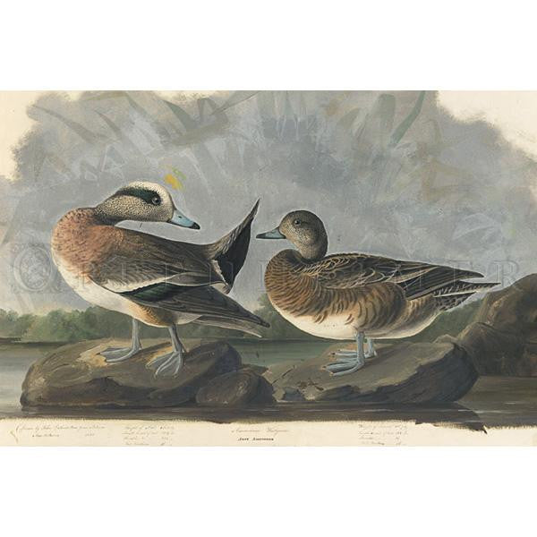 American Widgeon Oppenheimer Print - New-York Historical Society Museum Store