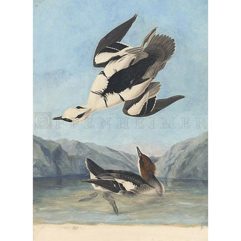 Smew or White Nun Oppenheimer Print