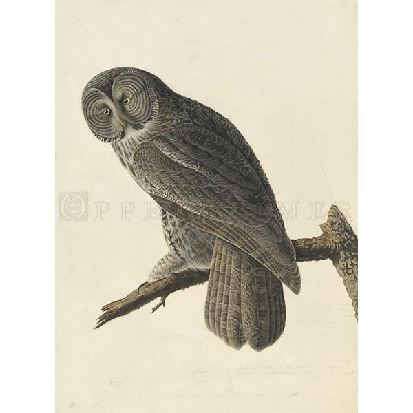 Great Cinereous Owl Oppenheimer Print