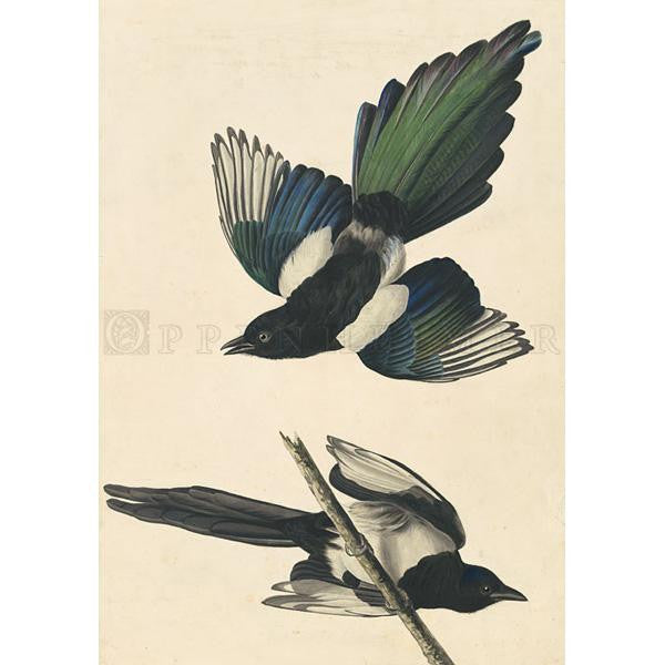 American Magpie Oppenheimer Print - New-York Historical Society Museum Store