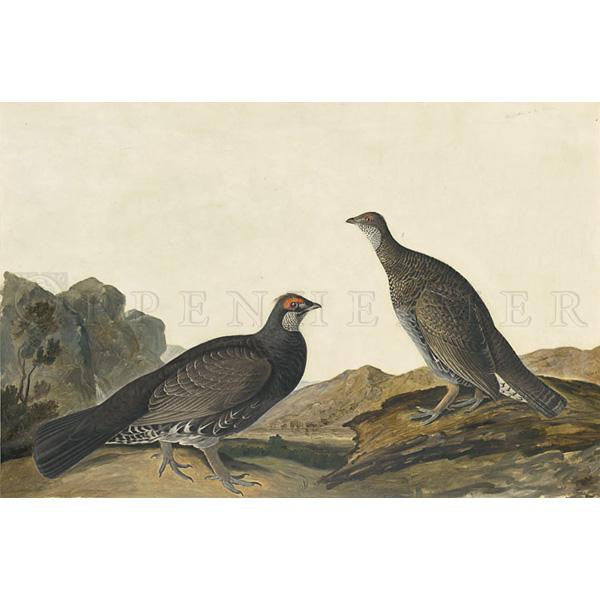 Long-tailed or Dusky Grous Oppenheimer Print