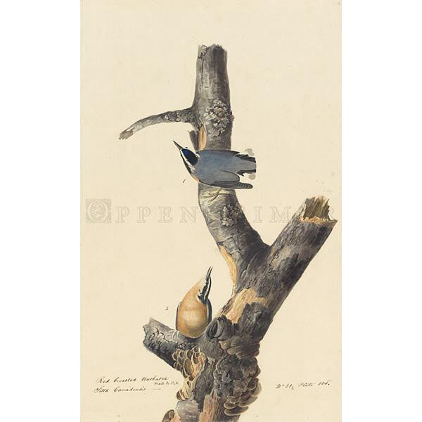 Red-breasted Nuthatch Oppenheimer Print