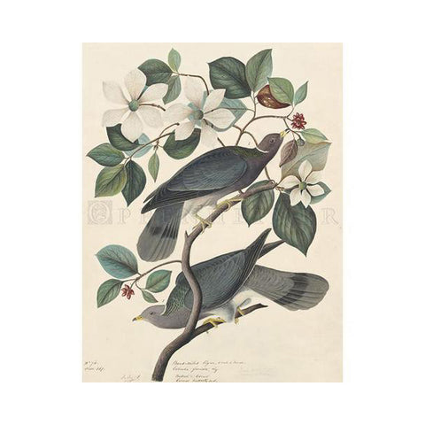 Band-tailed Pigeon Oppenheimer Print