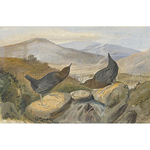 American Water Ouzel Oppenheimer Print - New-York Historical Society Museum Store