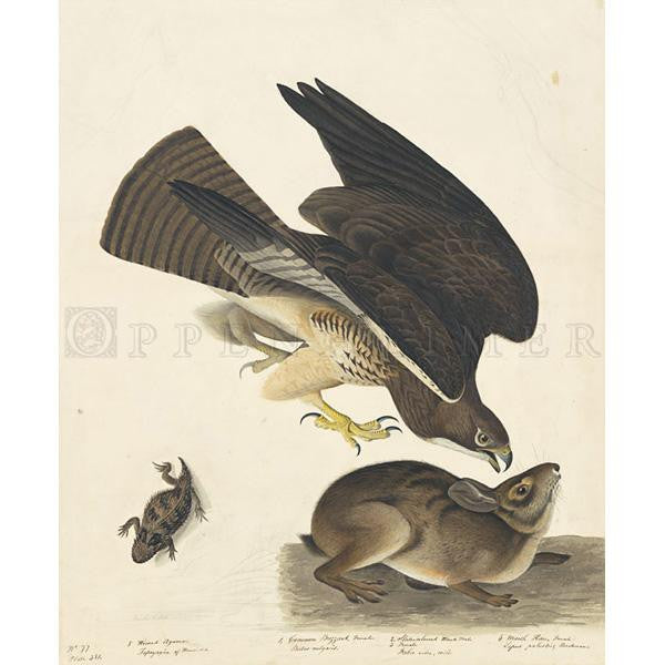 Common Buzzard Oppenheimer Print