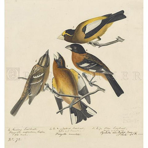 Spotted Grosbeak & Evening Grosbeak Oppenheimer Print