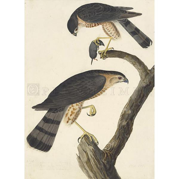 Sharp-shinned Hawk Oppenheimer Print